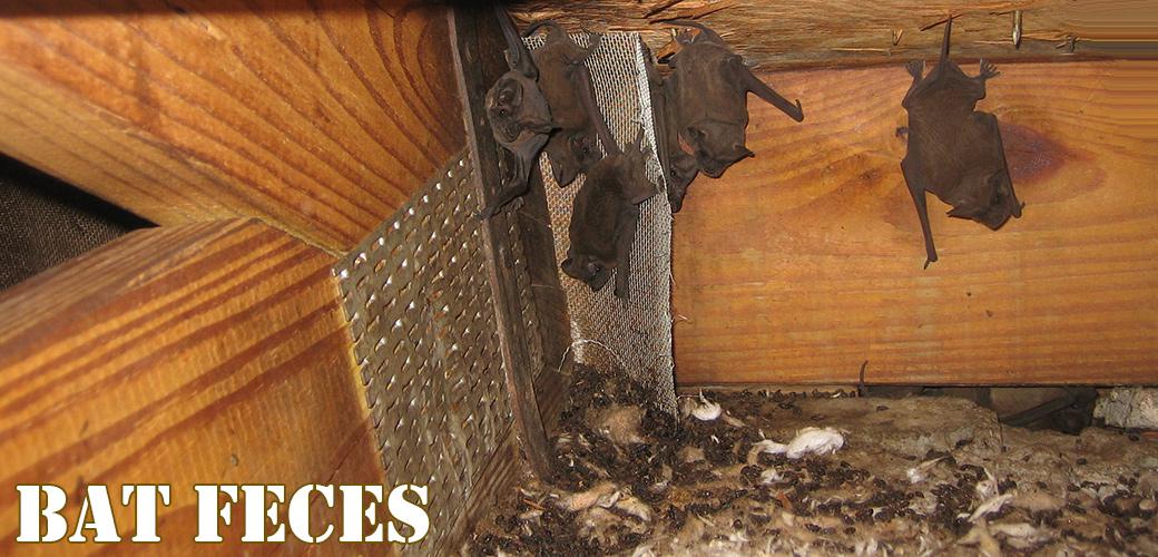 Is Bat Feces Dangerous To Touch Or Breathe